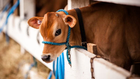 Picture of Calf with a Blue Halter